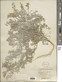 view Astragalus miguelensis Greene digital asset number 1
