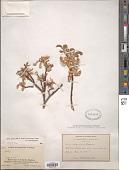 view Salix glauca L. x S. brachycarpa Nutt. subsp. brachycarpa digital asset number 1