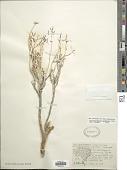 view Pseudoclappia arenaria Rydb. digital asset number 1