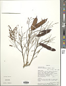view Albizia niopoides (Spruce ex Benth.) Burkart digital asset number 1
