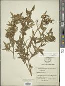 view Monochaetum floribundum (Schltdl.) Naudin digital asset number 1