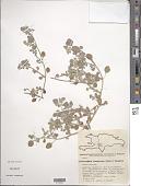 view Tidestromia lanuginosa (Nutt.) Standl. digital asset number 1