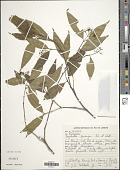 view Psychotria leiocarpa digital asset number 1