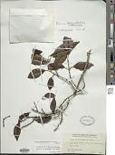 view Vitex lignum-vitae A. Cunn. ex Schauer digital asset number 1