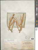 view Cenchrus biflorus Roxb. digital asset number 1