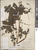 view Aconitum reclinatum A. Gray digital asset number 1