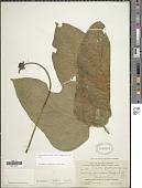 view Gurania lobata (L.) Pruski digital asset number 1