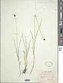 view Carex microptera Mack. digital asset number 1