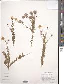 view Fallugia paradoxa (D. Don) Endl. ex Torr. digital asset number 1