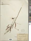 view Mimosa caesalpiniaefolia Benth. digital asset number 1