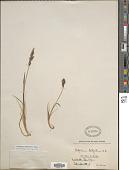 view Arctagrostis latifolia (Aiton) Griseb. digital asset number 1