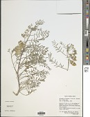 view Astragalus allochrous A. Gray digital asset number 1
