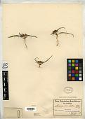 view Androcymbium bellum Schltr. & K. Krause digital asset number 1