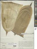 view Bambusa odashimae Hatus. ex D.Z. Li & Stapleton digital asset number 1