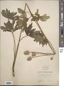 view Anemone virginiana L. digital asset number 1