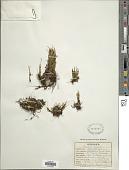 view Cochlidium serrulatum (Sw.) L.E. Bishop digital asset number 1