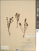 view Pedicularis pennellii Hultén digital asset number 1