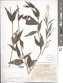 view Iresine angustifolia Euphrasén digital asset number 1