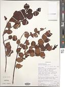 view Halleria tetragona Baker digital asset number 1