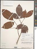 view Allophylus sp. digital asset number 1