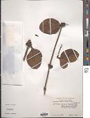 view Aetanthus nodosus (Desr.) Engl. digital asset number 1