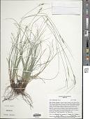 view Carex schiedeana Kunze digital asset number 1