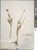view Ranunculus orthorhynchus var. platyphyllus A. Gray digital asset number 1