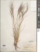 view Aristida purpurea Nutt. digital asset number 1