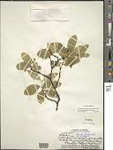 view Wikstroemia oahuensis var. palustris (Hochr.) B. Peterson digital asset number 1