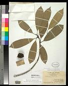 view Paramanglietia microcarpa H.T. Chang digital asset number 1