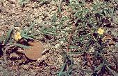 view Camissonia dentata (Cav.) Reiche digital asset number 1
