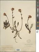 view Pedicularis tuberosa L. digital asset number 1