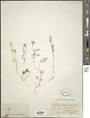 view Torilis leptophylla (L.) Rchb. f. digital asset number 1