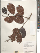 view Amanoa guianensis Aubl. digital asset number 1