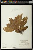 view Daphniphyllum calycinum Benth. digital asset number 1