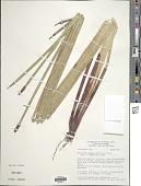 view Eleocharis elegans (Kunth) Roem. & Schult. digital asset number 1