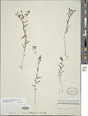 view Trichostema setaceum Houtt. digital asset number 1