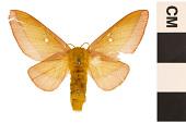 view Pink-striped Oakworm Moth digital asset number 1