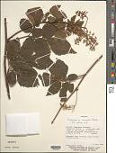 view Serjania inscripta Radlk. digital asset number 1