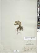 view Selaginella pallescens (C. Presl) Spring digital asset number 1