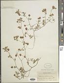 view Trifolium procumbens L. digital asset number 1