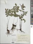 view Adiantum obliquum Willd. digital asset number 1