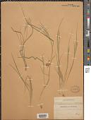 view Dichanthelium depauperatum (Muhl.) Gould digital asset number 1