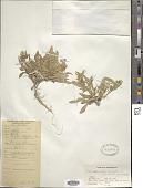 view Convolvulus lineatus L. digital asset number 1