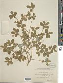 view Lonicera utahensis S. Watson in C. King digital asset number 1