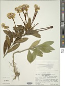 view Brunfelsia undulata Sw. digital asset number 1