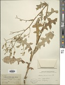 view Lactuca ludoviciana (Nutt.) Riddell digital asset number 1