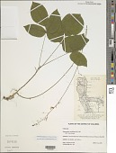 view Hylodesmum nudiflorum (L.) H. Ohashi & R.R. Mill digital asset number 1