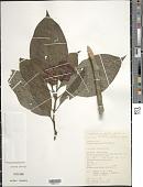 view Palicourea tomentosa (Aubl.) Borhidi digital asset number 1