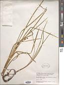view Sparganium chlorocarpum Rydb. digital asset number 1